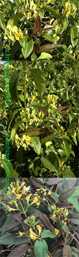 Evergreen Climbing Plant. Honeysuckle Lonicera 'Copper Beauty' * NEW INTRODUCTION* Glossy Olive and  Bronze Evergreen Foliage and Scented Flowers. This Evergreen honeysuckle has been container grown so can be planted any time of the year.