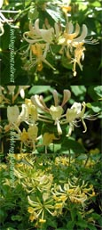 1 x Honeysuckle - Lonicera periclymenum 'Graham Thomas'-RHS RGM - VERY LONG FLOWERING PERIOD - SCENTED FLOWERS TOO. This Hardy Perennial Climber is  container grown and is best planted September to May