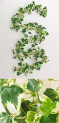 3 X Artificial 6ft (183cms) Mini Ivy Leaves Garlands in Green & Cream for Inside & Outside