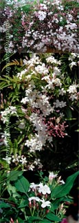 2 x  Jasmine 'Officinale' - HARDY PERENNIAL CLIMBER- HEAVENLY SCENTED WHITE FLOWERS. This Hardy Perennial Climber has been container grown so can be planted at any time of year.
