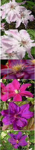 The Summer Clematis Collection (B) - NEW COLLECTION for this year, offering 3 Large Flowering Clematis Suited to PATIO GARDENING.