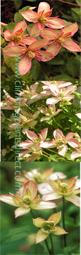 Clematis Montana 'Marjorie'- SIMPLY SPECTACULAR DOUBLE FLOWERING MONTANA -  This Hardy Perennial Climber has been container grown so can be planted at any time of the year.  We despatch WITH container so the roots are safe.