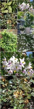 MINT AND CREAM EVERGREEN COLLECTION - 2 Plant Collection Mint Crisp & Solanum Alba