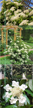 Climbing Evergreen Hydrangea 'Seemanii' - Evergreen Foliage and Scented Flowers. South, East, West and North Facing aspect.