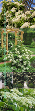 Hydrangea 'Petiolaris' - Low Maintenance Climbing Plant. Will grow from full sun to full shade including a North Wall