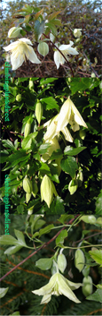 Clematis 'Ourika Valley'. * EVERGREEN WINTER FLOWERING*.  This Hardy Evergreen Perennial Climber has been container grown so can be planted at any time of the year.  We despatch WITH container so the roots are safe.