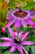 Passion flower - Passiflora 'Purple Rain'  EVERGREEN with glossy dark green leaves on mature vine. This Hardy Perennial Climber has been container grown so can be planted at any time of the year.