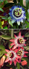 Climbing Plants  X 2 Offer- Passion Flower Promotion - Hardy Plants with Exotic Flowers and EVERGREEN.