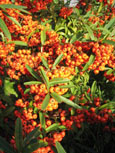 Pyracantha 'Orange Glow' - Evergreen Wall Shrub. Spring flowers and Autumn / Winter Orange berries