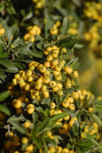 Pyracantha 'Soleil d'Or' - Evergreen Wall Shrub. Spring flowers and Autumn / Winter light golden berries