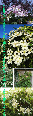 Quick & Easy Growing Climbing Plant Collection & All 3 Plants Suited to Growing in ABSOLUTELY ANY SPOT in Your Garden!