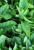 English Lamb Mint:  Mentha x spicata Hardy Perennial. (3xGarden Ready Plants Supplied)