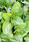 Orange Mint:  Mentha x aquatica (Citrata) Hardy Perennial. (3xGarden Ready Plants Supplied)