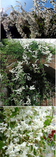 2x Russian Vine - Mile-A-Minute Vine. (Fallopia baldschaunica also known as Polygonum baldschuanicu). This Hardy Perennial Climber has been container grown so can be planted at any time of the year. We despatch WITH container so roots are protected.
