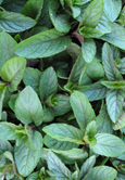 Chocolate Mint:  Mentha x piperita Hardy Perennial. (1xGarden Ready Plant Supplied)