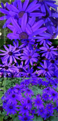 Senetti Blue GARDEN READY Plants - DELIVERY -  APRIL ONWARDS