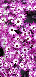 Senetti Magenta Bi-colour GARDEN READY PLANTS- DELIVERY -  APRIL ONWARDS