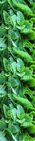 Spearmint:  Mentha spicata. (3xGarden Ready Plants Supplied)