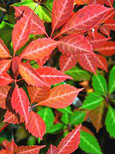 4 xParthenocissus quinquefolia - 'Virginia Creeper' - EASY TO GROW SHOWSTOPPER!  Masses of lush foliage from early spring right through to early winter & an AWARD WINNER too! - RHS AGM . This Hardy Perennial Climber can be planted at any time of the year.