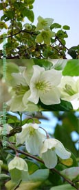 Clematis 'Wisley Cream'. RHS AGM * EVERGREEN WINTER FLOWERING*.  This Hardy Evergreen Perennial Climber has been container grown so can be planted at any time of the year.  We despatch WITH container so the roots are safe.